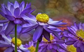 Lírios de água roxos, flores, pétalas
