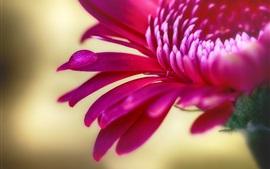 Preview wallpaper Red chrysanthemum, petals macro photography, water drop