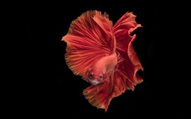 Preview wallpaper Red fish, beautiful tail, black background