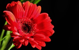 Red gerbera flower, black background