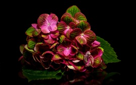 Preview wallpaper Red hydrangea, reflection, black background