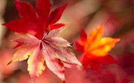 壁紙のプレビュー 赤いメープルリーフマクロ写真、ボケ、秋