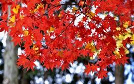Hojas de arce rojo, otoño, Japón