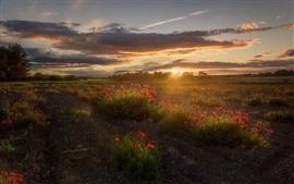 Papoila vermelha, flores, nuvens, pôr do sol