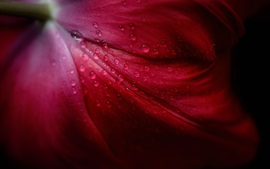 Preview wallpaper Red tulip petals macro photography, water drops