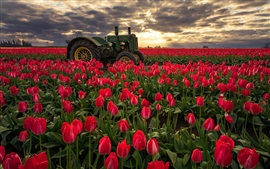 Red tulips fields, morning, sunrise, tractor, Oregon, USA