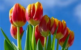 Flores de tulipas vermelho-amarelo pétalas, céu azul