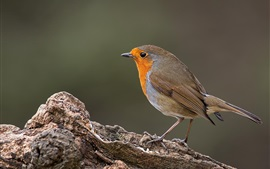 Robin bird, tree, side view