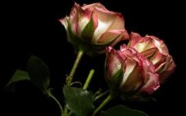 壁紙のプレビュー バラ、ピンクと白の花びら、黒い背景