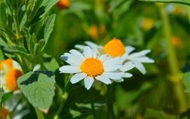 미리보기 배경 화면 봄, 데이지, 하얀 꽃잎