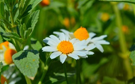 Primavera, Margarida, pétalas brancas