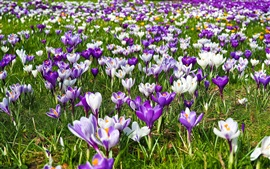 Preview wallpaper Spring, purple and white flowers, crocuses
