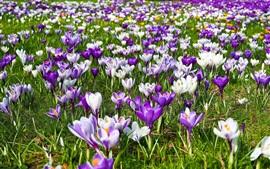 미리보기 배경 화면 봄, 보라색과 흰색 꽃, 크로커스