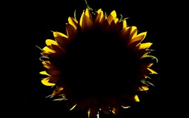 Preview wallpaper Sunflower, backlight, darkness