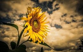 Sunflower, clouds, dusk