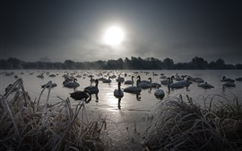Swans, lake, snow, winter, fog, morning