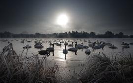 Preview wallpaper Swans, lake, snow, winter, fog, morning