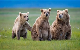 Three brown bears, grass