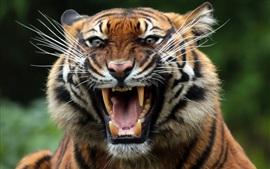 Tigre, colmillos, cara, boca, depredador
