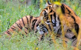 Preview wallpaper Tiger hidden in the grass