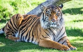 Preview wallpaper Tiger rest, grass, sunshine