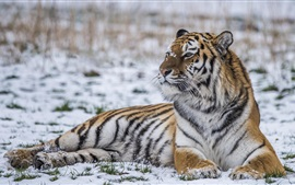 Preview wallpaper Tiger rest in the winter, snow, look side