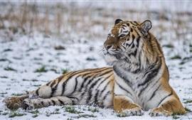 Зимой тигр, снег, сторона взгляда