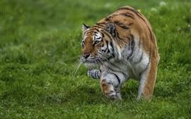 Tigre marchant dans l'herbe, se faufile