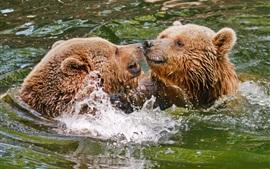 Dois, marrom, ursos, jogo, em, água, respingo