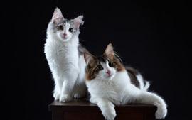 Dois gatos, fundo preto