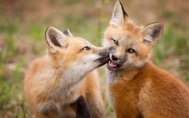 Two cute little foxes play games