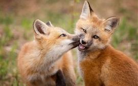 Aperçu fond d'écran Deux mignons petits renards jouent à des jeux