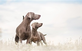 Preview wallpaper Two dogs, friends, white sky