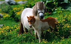 Dois cavalos, pônei, flores silvestres