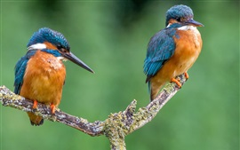 Preview wallpaper Two kingfishers, green background