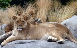 Preview wallpaper Two lioness, rest, reeds