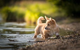 Preview wallpaper Welsh Corgi, walk in water