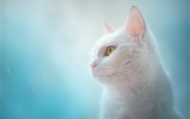 Preview wallpaper White cat, yellow eyes, blue background