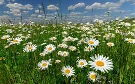 Preview wallpaper White chamomile flowers, meadow