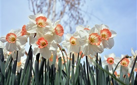 Preview wallpaper White daffodils flowering, spring