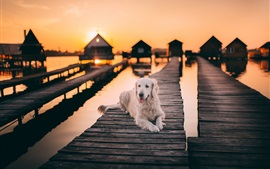Preview wallpaper White dog rest, wood bridge, lake, sunset