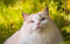 Preview wallpaper White furry cat look up, blue eyes