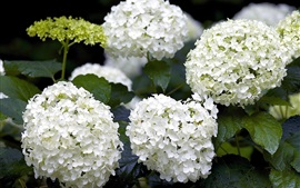 Preview wallpaper White hydrangea flowers