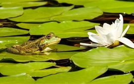 Preview wallpaper White lotus, green leaves, frog, pond