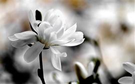 Flor de magnólia branca