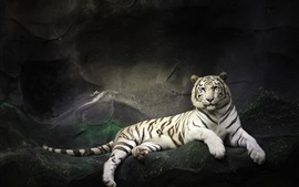 Preview wallpaper White tiger rest, rocks