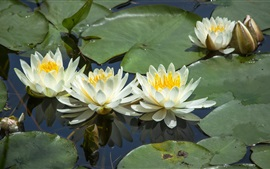 Preview wallpaper White water lilies, flowers, leaves, pond