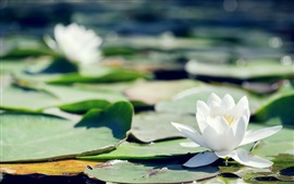 White water lily, beautiful flowers