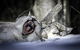 Wildcats rest, yawn
