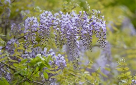 Wisteria flowering, purple flowers